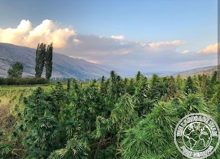 Lebanese cannabis plants